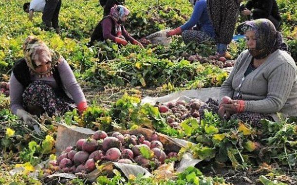 Mevsimlik turp işçileri uzun, yoğun ve güvencesiz çalışıp 50 lira alıyorlar!