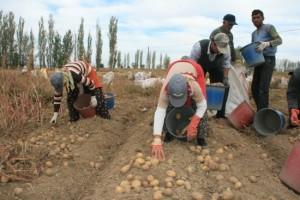 Patates Üreticilerini, Fiyat Düşüklüğünden Sonra Don Olayı Vurdu