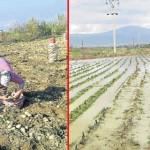 Patates üreticisine yağmur darbesi