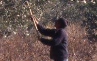 Aslantaş Barajı buğday ekili alanları telef etti