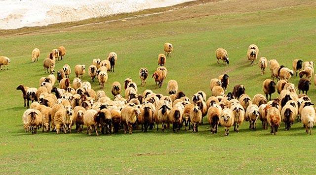 Sülükler, Milli Tarım Projesi, hayvancılık / Abdullah Aysu