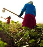 Elazığ'da 100 Bin Ton Üzüm Yok Pahasına Satılacak