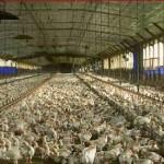 Kuş gribi endüstriyel tavukçulukla ilgilidir / Tayfun Özkaya