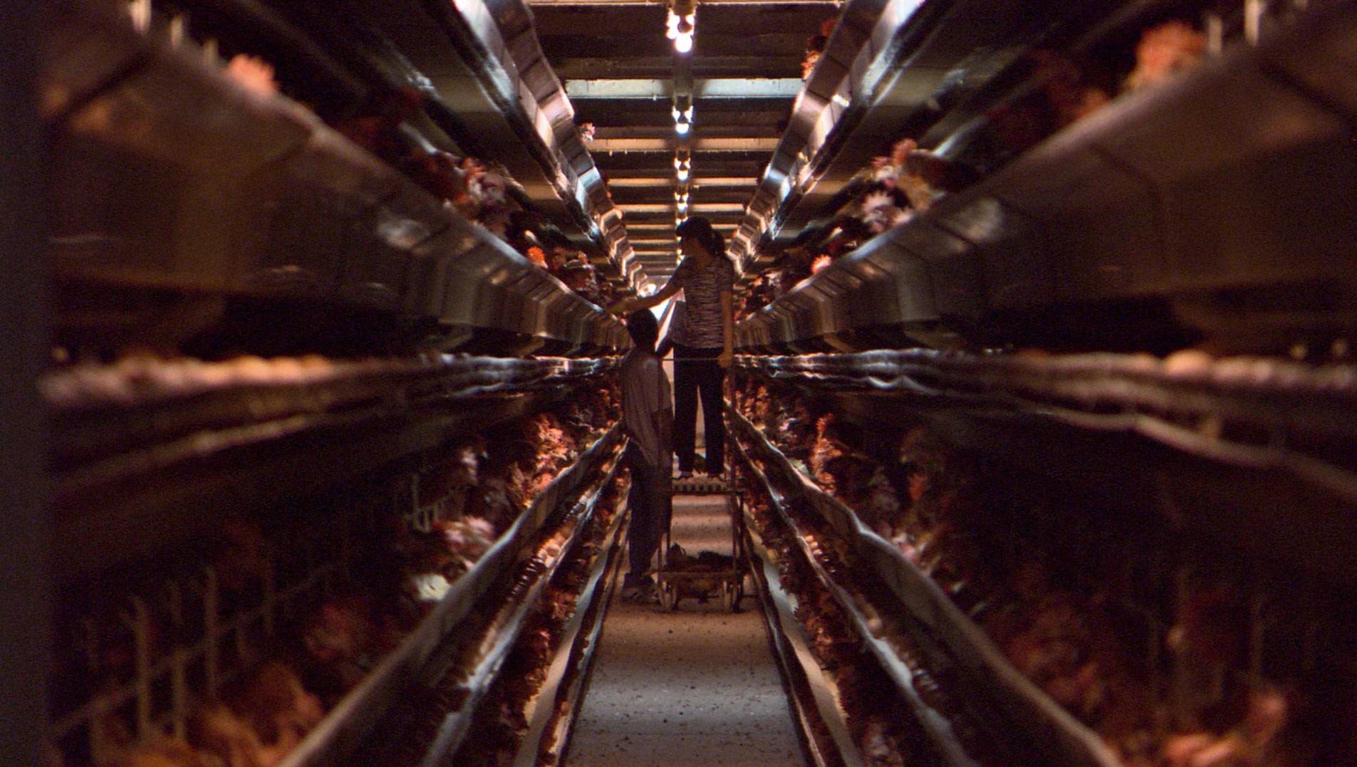 Adli kontrol koşullu serbest tavuklar / Abdullah Aysu