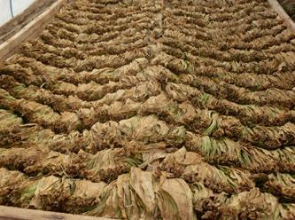 Tütün üreticisinin emeği duman oluyor