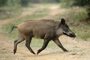Manisa'da domuzlar tarım işçisi oldu