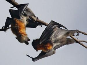 SARS'ın nedeni : Doğal ortamları yok edilen yarasalar