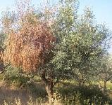 Şarköy'de 300 zeytin ağacı katliama uğradı
