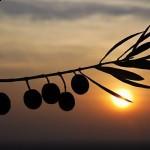 Sarıgöl'de yaş üzüm rekoltesi 160 bin ton