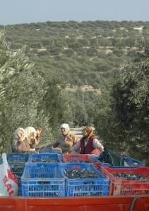 Zeytin yasası değişikliğine karşı belediyeler göreve çağrıldı